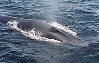 Fin Whale, Balaenoptera physalus, Surfacing, (de) Jeffery's Ledge, Gloucester, Massachusetts, Atlantic Ocean