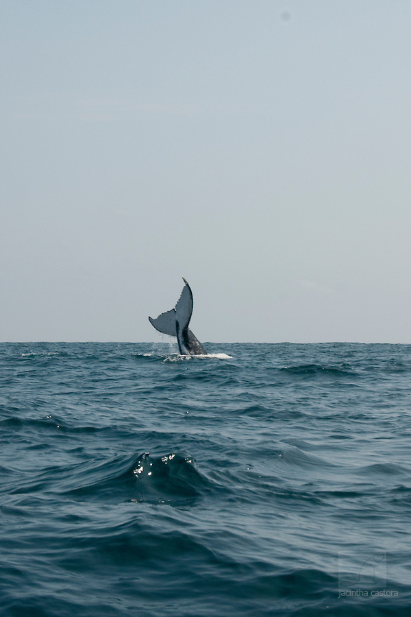 the tale of a humpback whale on the coast of puerto lopez ecuador