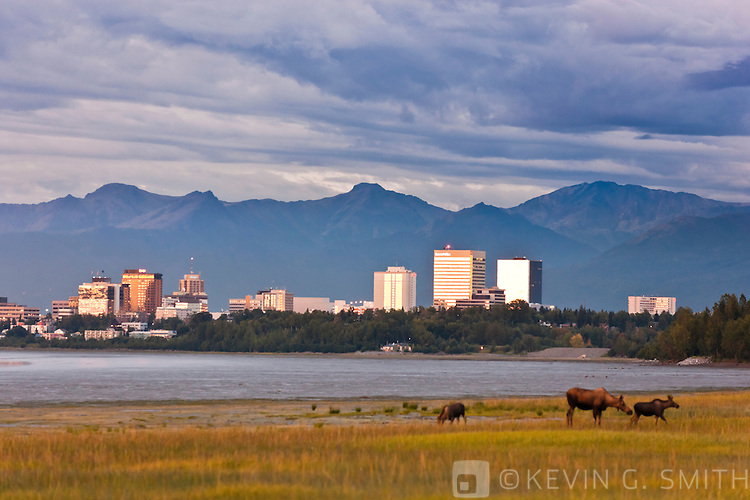 Cow moose and two yearling calves grazing on the Knik Arm coastal mudflats, storm clouds above the Anchorage city skyline and the Chugach mountains in the background, twilight,  Anchorage, Southcentral Alaska, Summer.