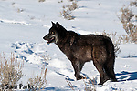Black wolf in winter. Yellowstone National Park, Wyoming.