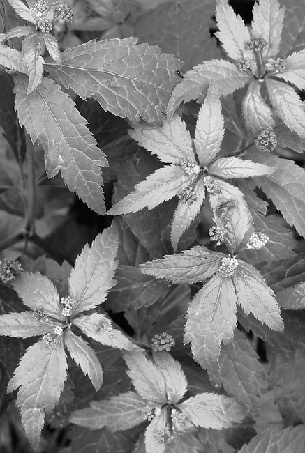 Waterleaf leaves form a pattern at O'Hara Woods Nature Preserve in Will County, Illinois