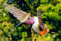 Magenta-throated Woodstar, Calliphlox bryantae, Monteverde, Costa Rica