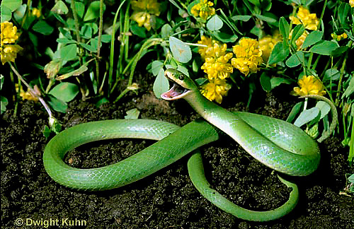 1R04-112z  Smooth Green Snake - in garden - Opheodrys vernalis