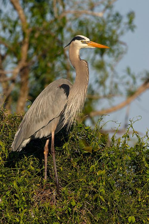 Great Blue Heron - Ardea herodias - Adult breeding