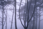 Trees in fog on the San Francisco Presidio, San Francisco, California