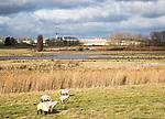 Sheep grazing wetland marshes landscape next to HMP Warren Hill prison, Hollesley Bay, Suffolk, England, UK