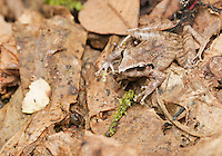 Pastures rainfrog (Cutín de potrero), Pristimantis achatinus, Tandayapa Valley, Ecuador