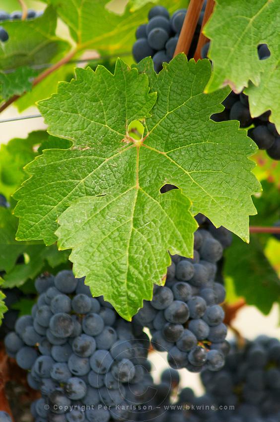 Bunches of ripe grapes. Vine leaf. Cabernet Sauvignon. Chateau Kirwan, Margaux, Medoc, Bordeaux, France