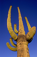 Perfect shot of an Organ pipe cactus against the blue sky in the Baja californian dessert
