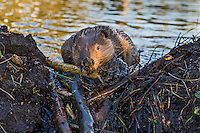 North American Beaver (Castor canadensis) working on dam--pushing mud up into the sticks it has placed to seal the dam-- it has built on a small stream.  Northern Rockies,  Fall.