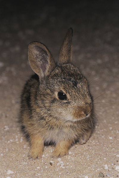 Eastern Cottontail (Sylvilagus floridanus), young at night on road, Starr County, Rio Grande Valley, Texas, USA