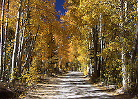 Aspen in fall glory near North Lake in the Eastern Sierra Nevada Mountains of California.
