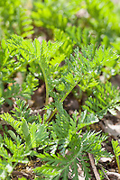 Rainfarn, junge Blätter im Frühjahr, Rain-Farn, Tanacetum vulgare, syn. Chrysanthemum vulgare, Tansy