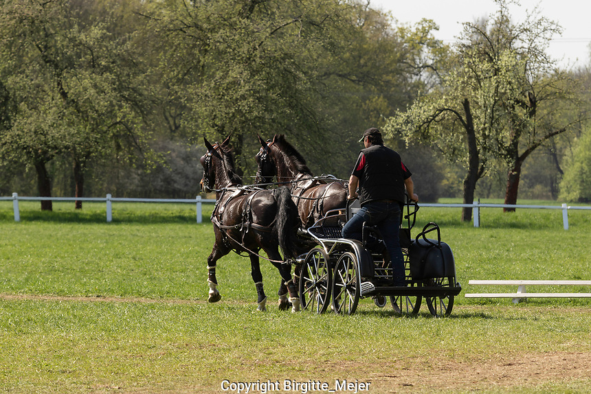 Horse driver warming up his Horses before competition in carriage horse dressage at Kladruby n. Labem in the Czech Republic, Europe 2018