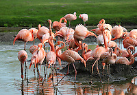 Stock image of flamingo group near a a small pond in tier park Berlin.<br />