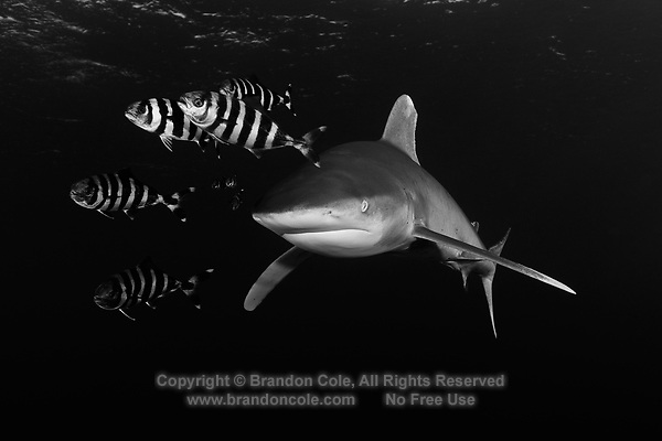 TG0138-Dbw. Oceanic Whitetip Shark (Carcharhinus longimanus), and Pilotfish (Naucrates ductor). Pilotfish are semi-obligate commensal symbionts, following sharks, turtles, and other pelagic animals. Found throughout the tropics, pilotfish feed on leftovers from their host meals, as well as shark parasites and excrement. Egypt, Red Sea. Color photo converted to black and white.<br /> Photo Copyright &copy; Brandon Cole. All rights reserved worldwide.  www.brandoncole.com
