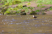 White-throated Dipper (Cinclus cinclus) Standing on a submerged rock mid stream. Dippers have a remarkable way to catch food in a niche area. They are able to dive under water readily at will and walk along the bottom in search of caddis fly larva and other food.
