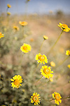 Desert Sunflower.Geraea canescens