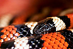 Captive Sierra Mountain King Snake. Range: Southwest United States. Job description: preditor. Shot handheld at Santa Barbara Zoo, California