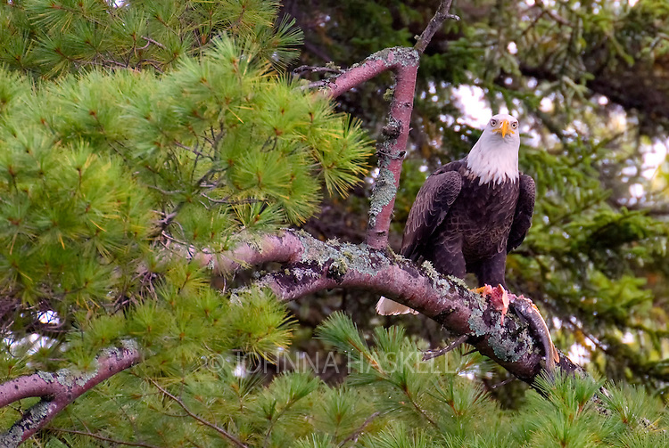 This Bald eagle is giving the protective eye over a freshly caught fish.