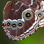 A close up of the undeside of a Blue Morpho's hind wing showing three smalle eyes and one larger all with red centers and surrounded by cirdles of black, gold, black and pale blue topped with a semi-circle of white. NOTE: this image is an 8-inch square and will have to be printed as an 8x10.