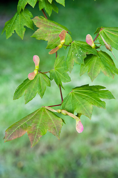 Winged seed-carrying fruit or samara of vine maple (Acer circinatum), early July. Native to soutwestern Canada and northwestern USA.