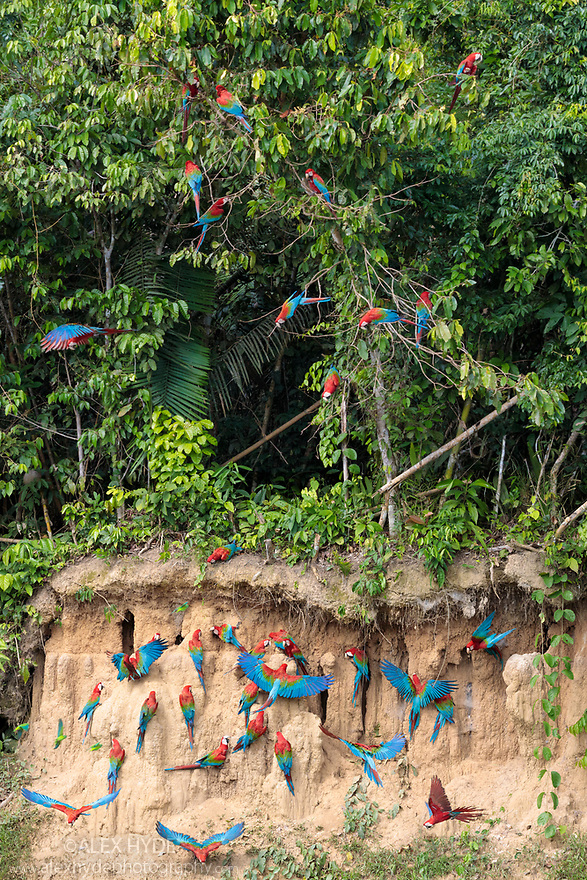 Red-and-Green Macaws (Ara chloropterus), feeding at the wall of a riverside clay lick. Blanquillo Clay Lick, Manu Biosphere Reserve, Peru. November.