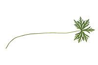 Wiesen-Storchschnabel, Wiesenstorchschnabel, Storchschnabel, Blaues Schnabelkraut, Geranium pratense, Meadow Cran´s Bill, meadow crane's-bill, meadow geranium, Le Géranium des prés. Blatt, Blätter, leaf, leaves