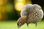 Maned Duck (Chenonetta jubata) female grazing, Royal Botanic Gardens, Sydney, New South Wales, Australia