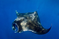 Giant Oceanic Manta Ray, Mobula birostris, formerly Manta birostris, feeding, Caribbean Sea, Atlantic Ocean