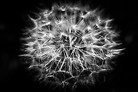 A galaxy in miniature  in the close-up of a dandelion seed head.