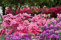 Hedge of pink flowering azalea shrubs, Sherwood Gardens Baltimore, Maryland