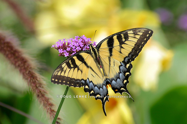 Eastern Tiger Swallowtail On Brazilian Verbena, Papilio glaucus Linnaeus