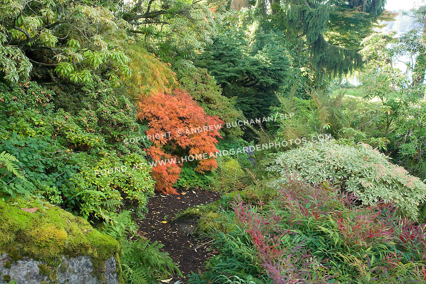 A meandering dirt path through a woodland garden setting is thick with moss, rhododendrons, and bright red Japanese Maple leaves in this autumn scene.