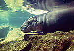 Pygmy hippopotamus going for a swim. (captive)