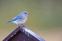 Mountain Bluebird (Sialia currucoides), female foraging in Rocky Mountain National Park, Colorado.