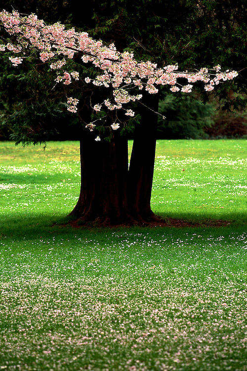 Single branch of pink cherry tree, Prunus, in front of trunk of Western Red Cedar, Thuja plicata, Stanley Park, Vancouver, BC