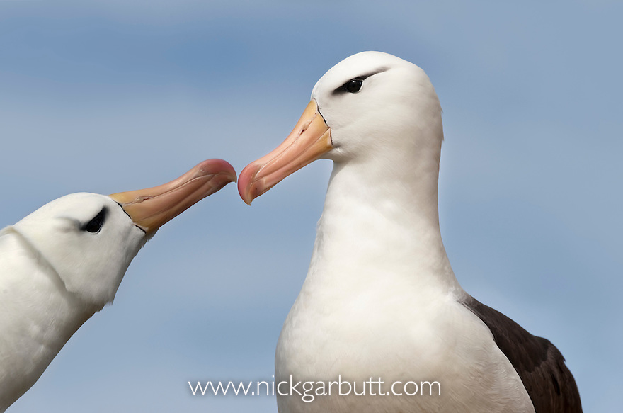 Male and female Black-browed Albatross (Thalassarche  [melanophrys] melanophrys) greeting one another at breeding colony. Saunders Island, Falkland Islands, South Atlantic.