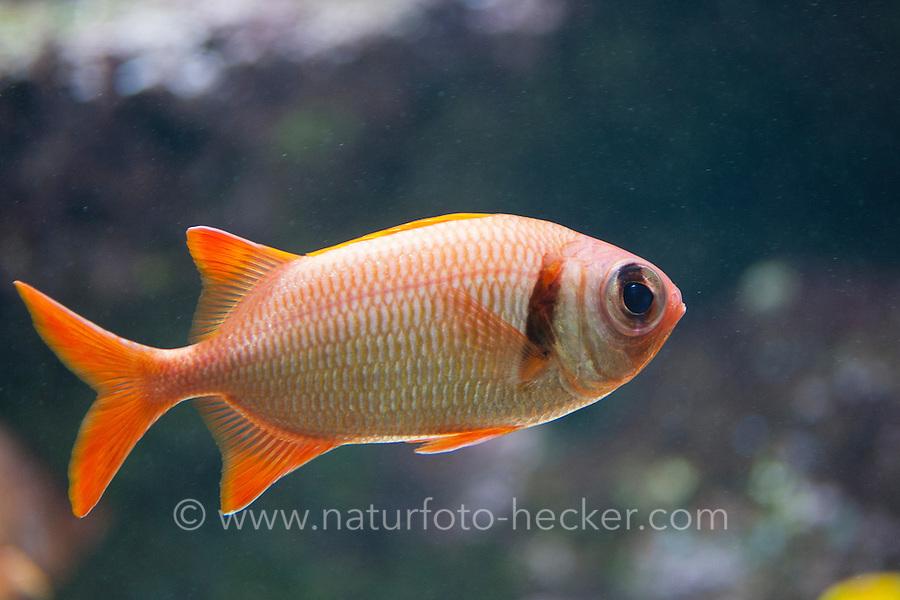 Geperlter Soldatenfisch, Myripristis kuntee, Epaulette Soldierfish, shoulderbar soldierfish, Pearly Soldierfish