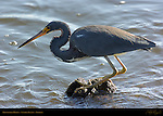 Tricolored Heron, Louisiana Heron, Egretta tricolor, Sanibel Island, Florida