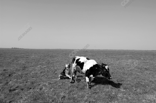 A shepherd's dog chased back a cow that strayed from the herd on the state farm based at the village of Giblitsy, Ryazansk region. Russia, May 5, 2008.