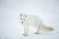 Arctic fox, Barter Island, Arctic National Wildlife Refuge, Alaska.