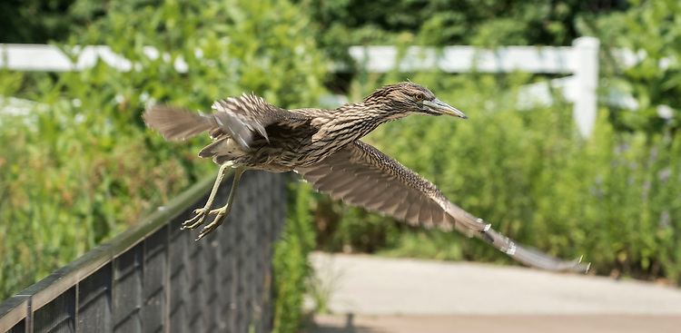 A juvenile blacked-crowned night heron learns to fish from the docks over the Lincoln Park Zoo lake Wednesday, July 20, 2016. DepPaul Environmental Studies major Joey Gagliardi studies and tracks many animals, including the blacked-crowned night herons, who return to the zoo every year to nest. Gagliardi is participating in the College of Science and Health's Dean's Undergraduate Fellowship, a 10-week summer program, which pairs students up with internships that provide real life experience and applicable skills that help make them world ready. (DePaul University/Jamie Moncrief)