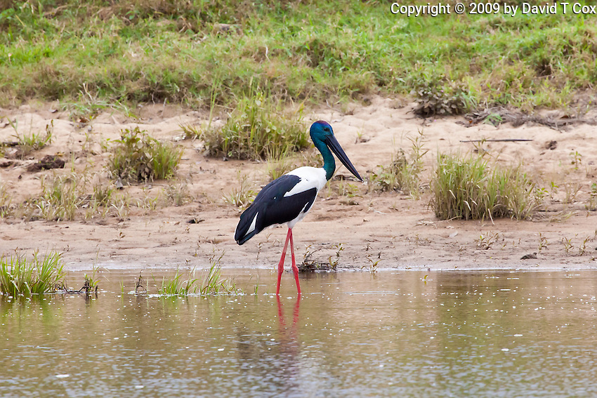 Black-Necked Stork aka Jabiru, Daintree River, Queensland, Australia
