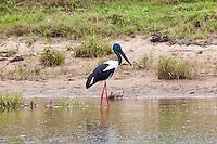 Black-Necked Stork aka Jabiru, Daintree River, Queensland, Australia