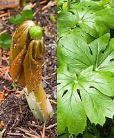 Podophyllum pelatum emerging new growth and summer foliage, composite picture