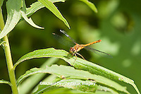 06663-00113 Ruby Meadowhawk dragonfly (Sympetrum rubicundulum) female, DuPage Co.  IL