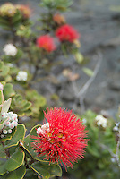 Red 'ohi'a lehua blossoms, said to be the favorite flowers of volcano goddess Madame Pele, brightens up an otherwise gray landscape inside Kilauea Iki Crater in Hawai'i Volcanoes National Park, Hawai'i Island.