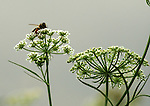Detail of a Bee on a marsh plant off shore along the Upland (Red) Trail in Falling Waters Preserve, Saugerties, NY on Thursday, August 4, 2011. Photo by Jim Peppler. Copyright Jim Peppler/2011.
