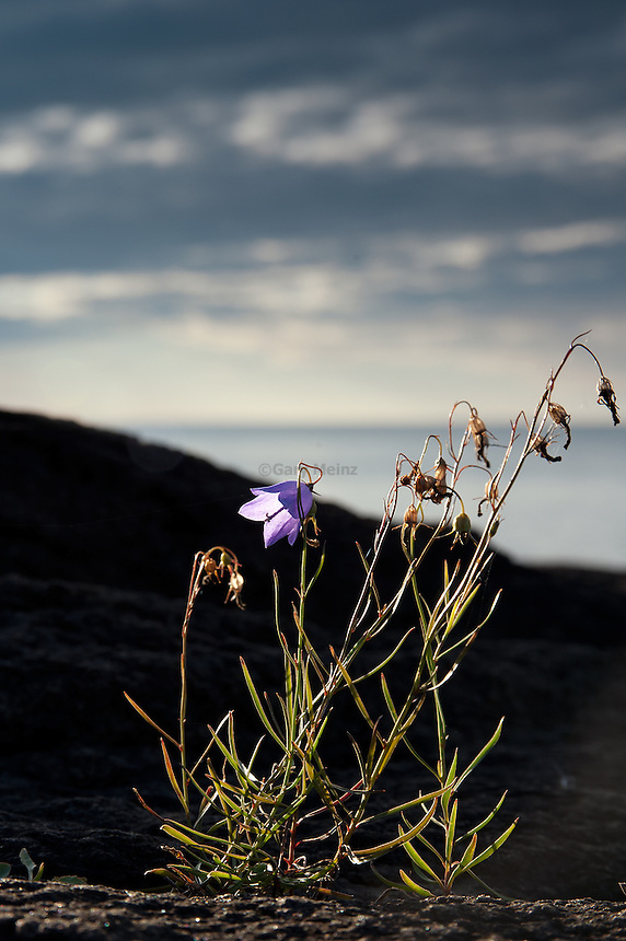 Bluebell clinging to the shoreline along Lake Superior